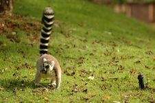Free Ring Tail Lemur Royalty Free Stock Images - 15644619