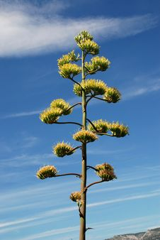Free Flowers Of The American Agave Plant Royalty Free Stock Photos - 15645478