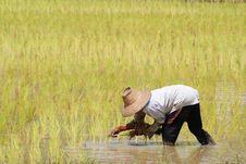 Free Rice Plantation Stock Photography - 15645882