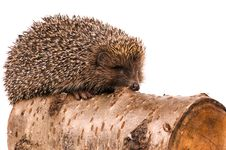 Free Hedgehog Royalty Free Stock Photography - 15646307