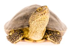 Free Turtle Stock Image - 15646351