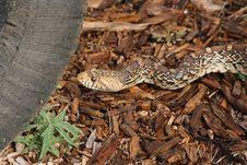 Free Bull Snake Stock Images - 15646354