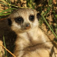 Free Baby Meerkat Looking At You Royalty Free Stock Images - 15648689
