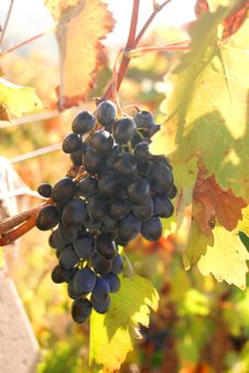 Free Ripe Grapes On A Rod Stock Photo - 15649130
