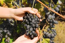 Free Ripe Grapes On A Rod Stock Photo - 15649190