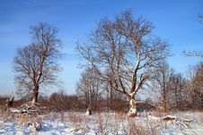 Free Big Oak In Snow Royalty Free Stock Photography - 15649807