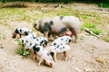 Free Hog (Sus Scrofa Domestica) With Piglets Stock Images - 15653864