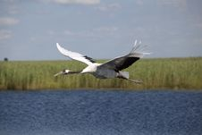 Free Red-crowned Crane Stock Photography - 15650272