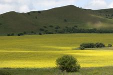 Rapeseed Fields Stock Photography