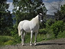 Free A White Horse Stock Photography - 15650772