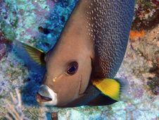 Free Grey Angel Fish Royalty Free Stock Photo - 15650925