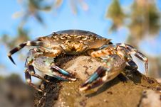 Free Big Crab On A Beach In Indian Sea Stock Image - 15651281