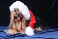 Yorkshire Terrier In Santa Claus Hat Stock Photos