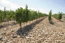 Free Rows Of A Vineyard Royalty Free Stock Photos - 15651478