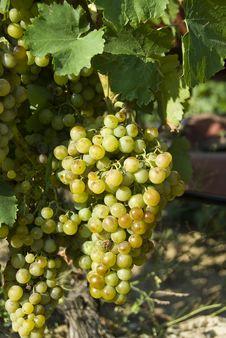 Free White Grapes Stock Photos - 15651683
