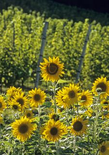 Free Sunflowers Royalty Free Stock Images - 15651959