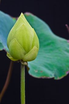 Free A Boom Lotus Royalty Free Stock Images - 15652319