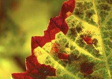 Red And Green Leaves Royalty Free Stock Photos