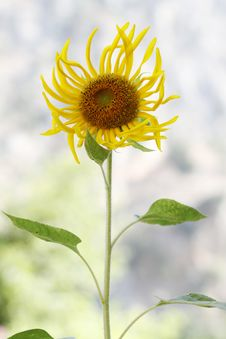 Free Young Sunflower Stock Images - 15653334