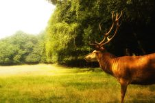 Free Red Deer  (Cervus Elaphus) On A Clearence Royalty Free Stock Images - 15653719