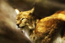 European Lynx  (lynx Lynx) Royalty Free Stock Photography
