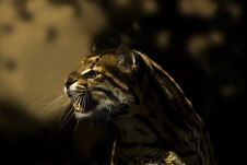 Free Ocelot (Leoparus Pardalis) Stock Photography - 15654232
