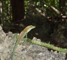 Free A Small Gecko Royalty Free Stock Images - 15654489