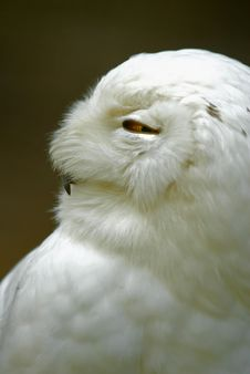 Free Snowy Owl (Bubo Scandiacus, Nyctea Scandiaca) Royalty Free Stock Photography - 15654797
