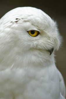 Free Snowy Owl (Bubo Scandiacus, Nyctea Scandiaca) Stock Photos - 15654813