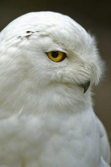 Free Snowy Owl (Bubo Scandiacus, Nyctea Scandiaca) Stock Photos - 15654813