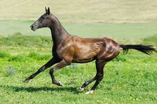 Free Black Akhal-teke Stallion Run Gallop Stock Photos - 15656623