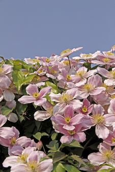 Free Clematis-Hybrid, Clematis Montana Royalty Free Stock Images - 15656869