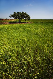 Free Rice Paddy Crops Stock Image - 15657701