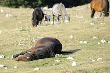 Free Wild Horse Sleep Royalty Free Stock Image - 15658106