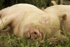 Free Sleeping Piglets Royalty Free Stock Photography - 15658217