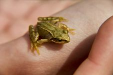 A Frog In The Hand Stock Photography