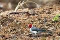 Free Red Head Bird Stock Photo - 15661610