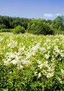 Free White-weed In Summer Royalty Free Stock Photography - 15665327
