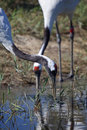 Free Crane Seeking Food Royalty Free Stock Images - 15666069