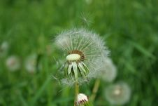 Free Dandelion On Which The Fuzz Has Clung Stock Images - 15660304