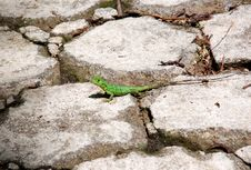 Free Green Lizard In Nicaragua Royalty Free Stock Photo - 15660985