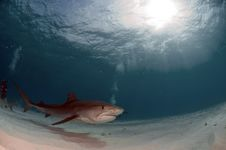Free Tiger Shark Royalty Free Stock Photography - 15661057