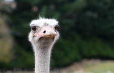 Free Inquisitive Ostrich Royalty Free Stock Image - 15661096