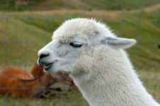 Free Blue Eyed Alpaca Royalty Free Stock Image - 15661126
