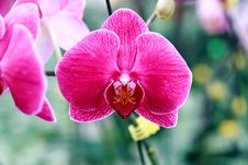 Free Orchid Royalty Free Stock Images - 15662129