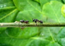 Free Two Fighting Ants Royalty Free Stock Images - 15662419
