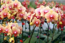 Free Orchid Royalty Free Stock Images - 15663599