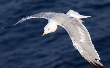 Free Beautiful White Seagull Stock Photography - 15664252