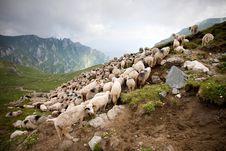 Free Herd Of Sheep In Bucegi Stock Image - 15664471