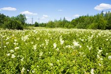 Free White-weed In Summer Royalty Free Stock Photo - 15665185